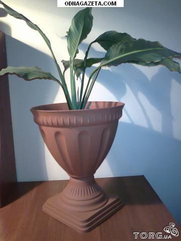 купить Комнатное растение Женское счастье. 200 кривой рог объявление 1