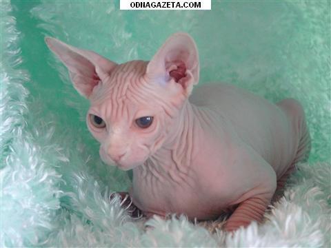 купить Голубоглазые котята канадского сфинкса. 2500 кривой рог объявление 1