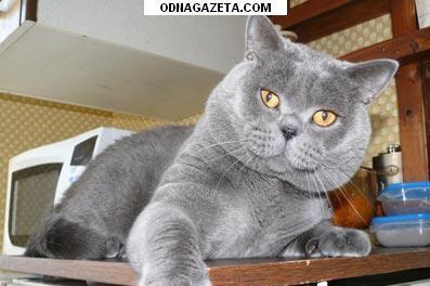 купить Британский кот голубого окраса приглашает кривой рог объявление 1
