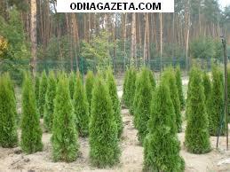 купить Хвойные декоративные растения в ассортименте. кривой рог объявление 1