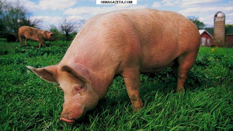 купить Куплю свиней, Крс, Кривой Рог кривой рог объявление 1