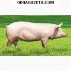 купить Куплю свиней, Крс, Кривой Рог самовывоз,  кривой рог объявление