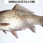 купить Живец для рыбалки, карасик, чубак, щука  кривой рог объявление