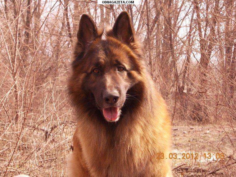 купить Дрессировка собак, коррекция поведения( послушание, кривой рог объявление 1