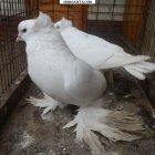 купить Продам декоративных породистых голубей (Торкуты двучубые  кривой рог объявление