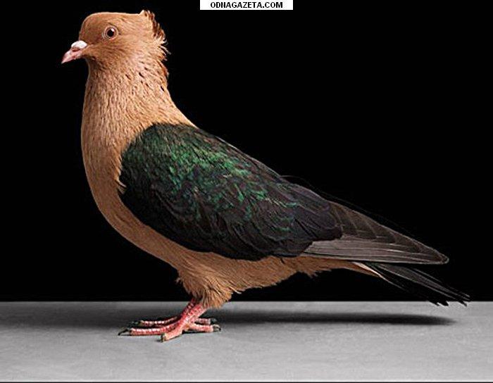 купить Продам декоративных породистых голубей (Торкуты кривой рог объявление 1