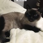 купить Пропала симская кошка в районе юности-  кривой рог объявление