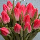 купить Оптовая продажа тюльпанов на 8 марта.  кривой рог объявление