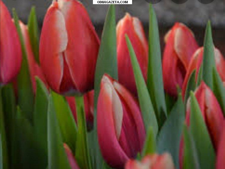 купить Оптовая продажа тюльпанов на 8 кривой рог объявление 1