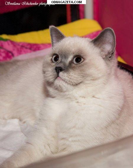 купить Чудесные британские короткошерстные котята блу кривой рог объявление 1