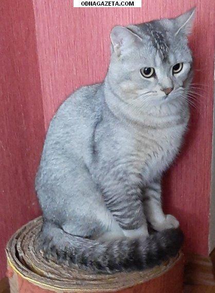купить Кот приглашает на вязку кошечек кривой рог объявление 1