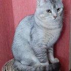 купить Кот приглашает на вязку кошечек скоттиш  кривой рог объявление