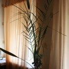 купить Продам финиковую пальму h=1. 2м в  кривой рог объявление