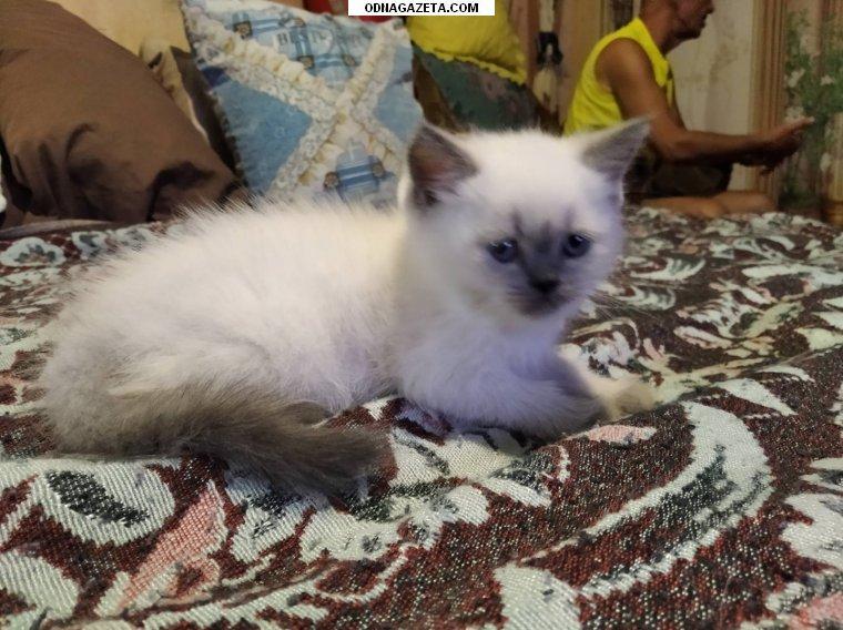 купить Продам шотландского котенка (девочка)прямоухая, окрас кривой рог объявление 1