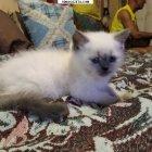 купить Продам шотландского котенка (девочка)прямоухая, окрас Блю  кривой рог объявление