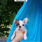 купить Продам очаровательную девочку французкогот бульдога -удивительный  кривой рог объявление