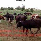 купить Куплю доиных коров 1-2 Днепр область  кривой рог объявление