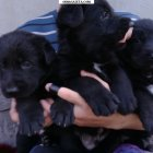 купить Продаю щенков чистокровной немецкой овчарки-чёрные. родители  кривой рог объявление