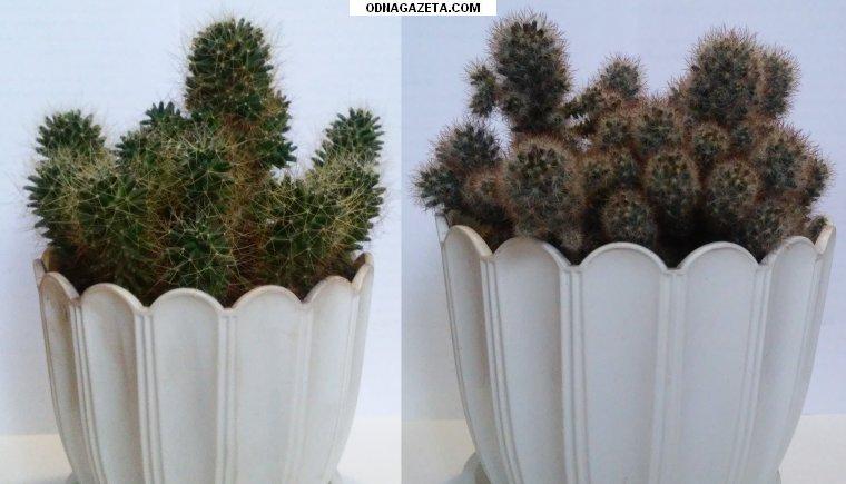 купить Комнатные растения: кактусы Маммиллярия, 2 кривой рог объявление 1