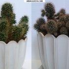 купить Комнатные растения: кактусы Маммиллярия, 2 вида.  кривой рог объявление