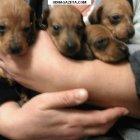 купить Продаются щенки кроличья такса, родились 12.  кривой рог объявление