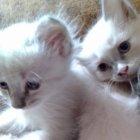 купить Продам недорого(200 грн) котят порода Невская  кривой рог объявление