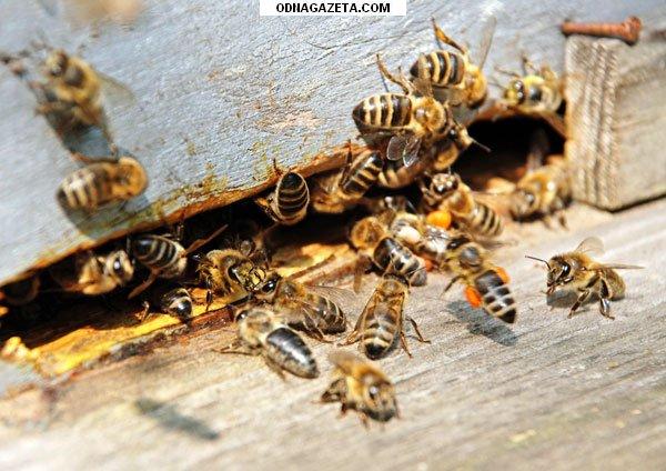 купить Пчёлы; пчелиные плодные матки (меченые) кривой рог объявление 1