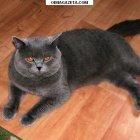 купить Холёный красивый голубой кот прямоухий шотландец  кривой рог объявление