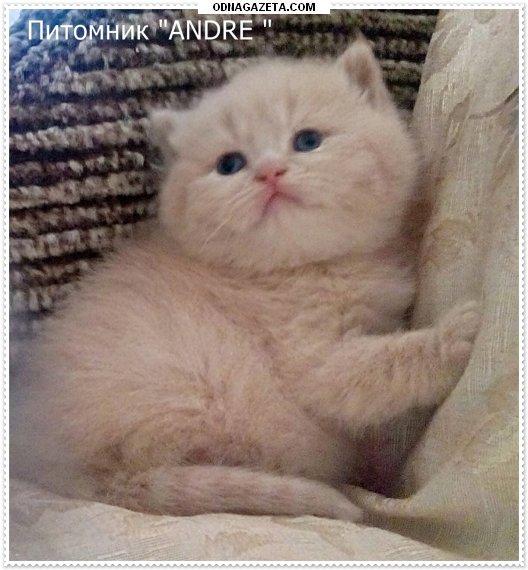 купить Питомник кошек Andreпредлагает к продаже кривой рог объявление 1