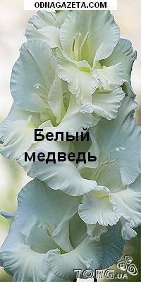 купить Луковицы Гладиолусов. 18 разных расцветок. кривой рог объявление 1