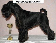 купить Щенки цвергшнауцера черного окраса. 0505607387; кривой рог объявление 1