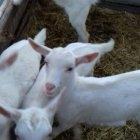 купить Продам козлят зааненской породы: 068-199-30-92. <span  кривой рог объявление 8